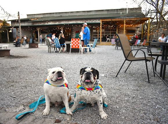 two bulldogs with rainbow leashes sitting on a gravel patio with people in lawn chairs in the background